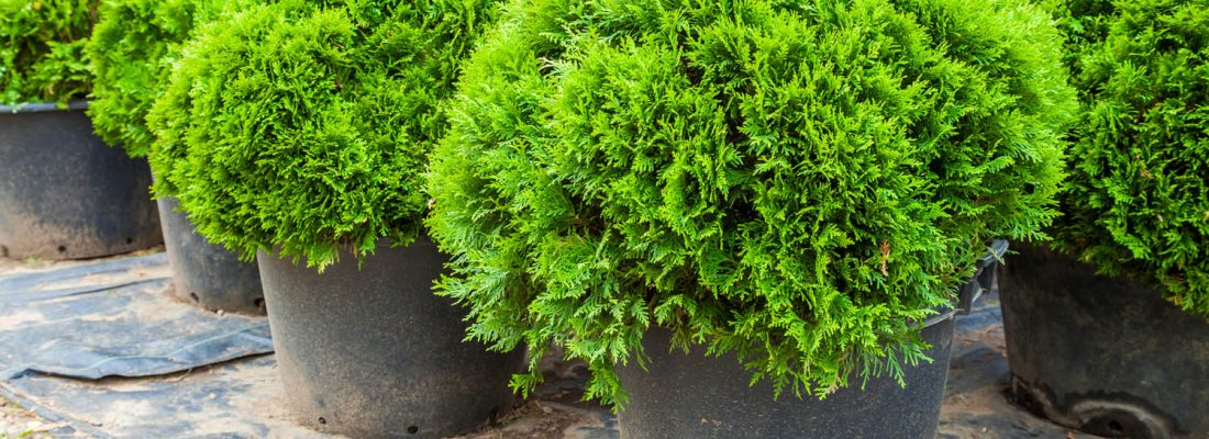 Evergreen cypresses plants in pots on tree farm